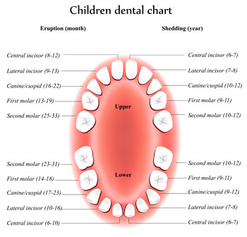 Tooth Eruption Chart - Dentist in Huntsville, AL